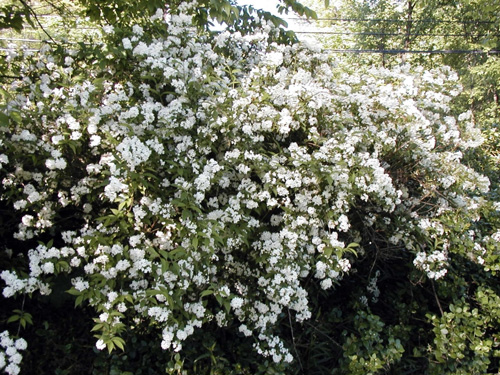 Native plants for michigan landscapes part 2 shrubs msu extension common ninebark with abundant flowers photo credit the dow gardens bugwood mightylinksfo