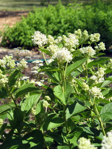 Native plants for michigan landscapes part 2 shrubs msu extension new jersey tea flowers mightylinksfo