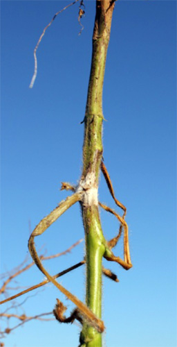 Infected soybean stem