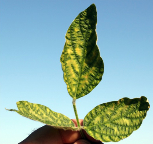 Leaves with SDS symptoms