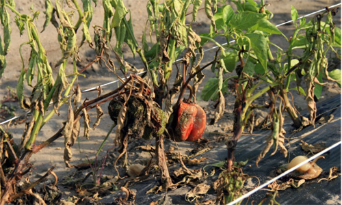 Foliar blight, fruit rot, and stem lesion