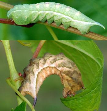 Hornworm Caterpillars The Big Cats Of The Vineyard Msu Extension
