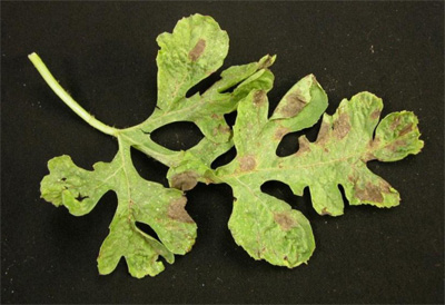 Downy mildew on watermelon