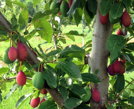 European plums self-thinning
