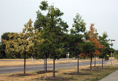 Trees under stress from drought.