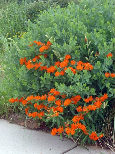 Butterfly weed and False Indigo