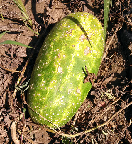 Anthracnose on watermelon