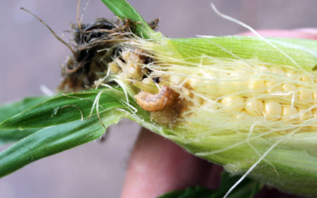 Sweet corn with cutworm