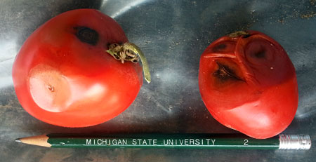 Anthracnose symptoms on tomatoes