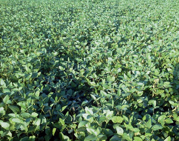 Soybean regrowth