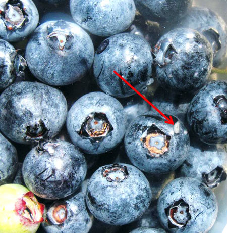Blueberry fruit sampling