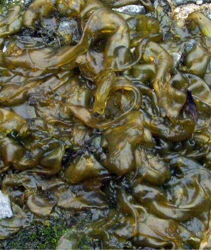 Nursery Growers Should Watch For Blue-green Algae In