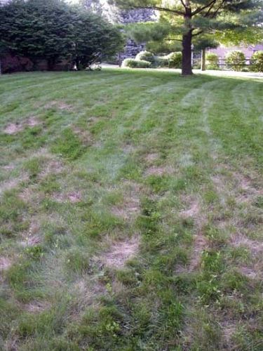 Diagnosing Chinch Bug Problems In Home Lawns Msu Extension