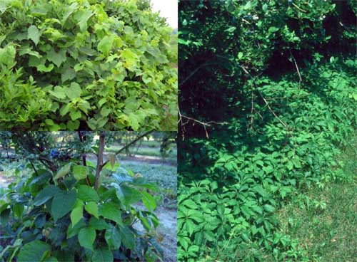 Virginia creeper, grapevine and poison ivy can be tough to control
