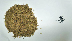 Weed seeds winter rye