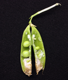 pea pod split open