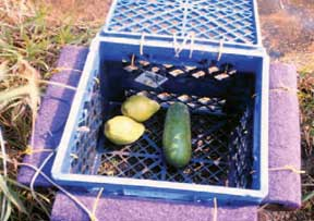 Milk crate with cucumber baits