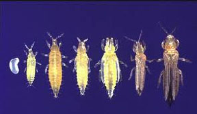 Thrips life stages