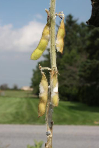 White mold symptoms