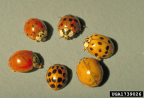 Multicolored Asian ladybeetles
