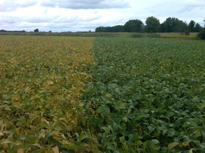 Soybeans day before frost