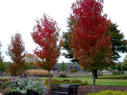 Sweetgum trees in fall color