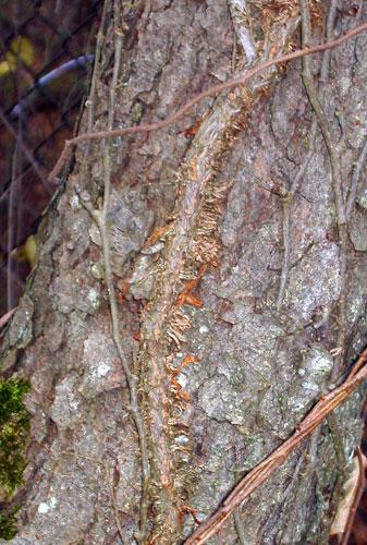 Poison Ivy Large Vines Paint Brush Killer