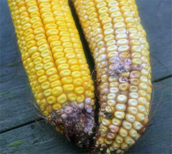 Corn infected with gibberella