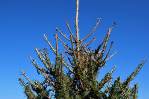 Damage to Fraser fir
