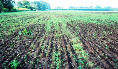 Alfalfa Seeding Failure