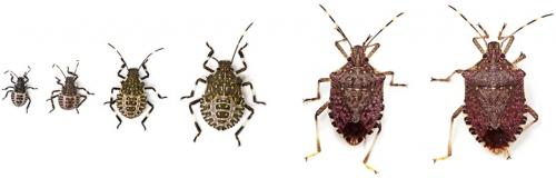 brown marmorated stink bug life stages