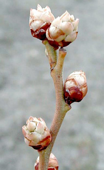Growth Stages Blueberries