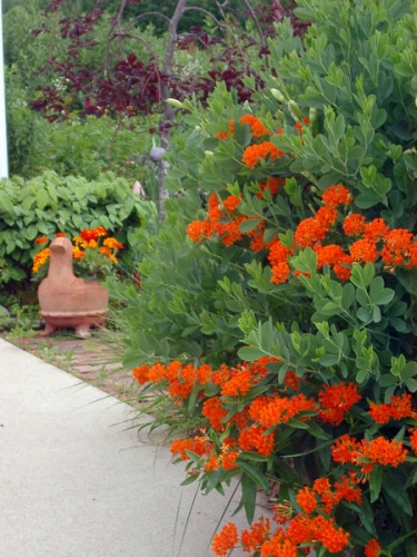 Butterfly weed (Asclepias) with its orange blooms combined with the long-lived false indigo (Baptisia).