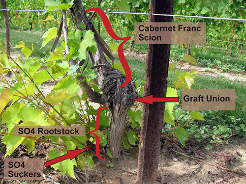 Cabernet Franc on SO4 rootstock