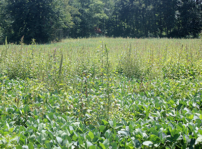 common water hemp
