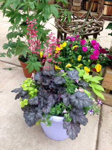 Combination planter with coral bells, creeping jenny, sweet potato vine and petunias.
