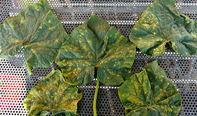 5 cucumber leaves with tan splotches and lesions.