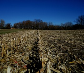 Rows of corn stalks after corn is harvested.