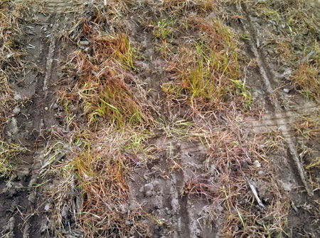 Dead cereal cover crop