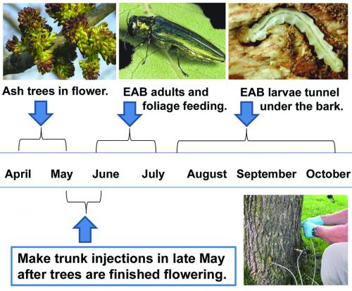 Managing emerald ash borer on ash trees info graphic.
