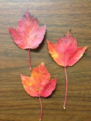 Red Maple Tree Leaves Can Be Toxic To Horses Msu Extension
