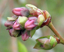 Early pink bud