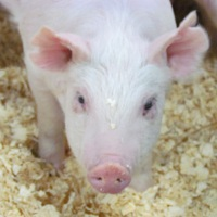 Farm visit series: MSU Swine Teaching and Research Center