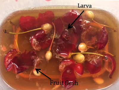 Cherries in salt bath solution with SWD larvae