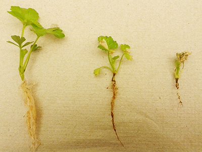 Celery seedlings lined up from big and green (healthy) to small and brown (diseased).