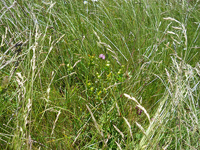 Yellow rattle getting established in grass forage.