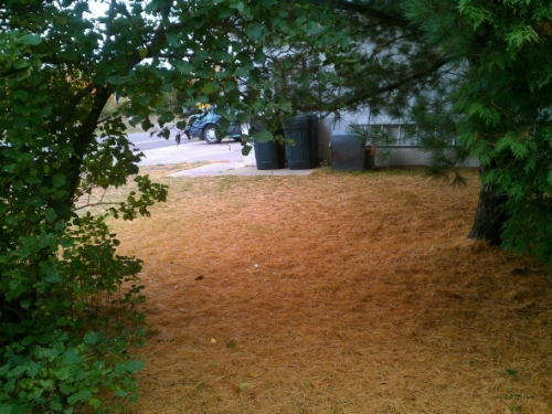 Fall accumulation of white pine needles in side yard