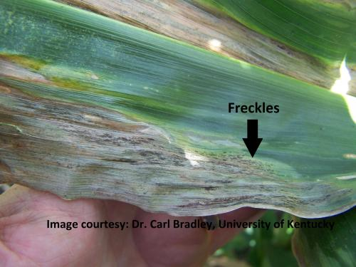 Goss wilt lesion with Freckles
