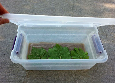 Leaves in plastic box.