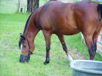 This mare's pasture consumption is carefully managed with a grazing muzzle.